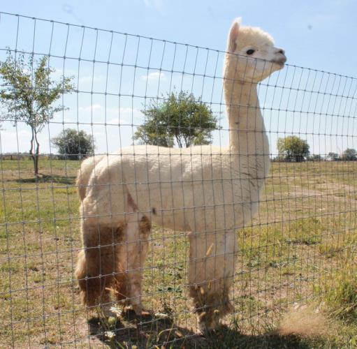Ohio Find It Here A Amp R Alpaca Farm And Store