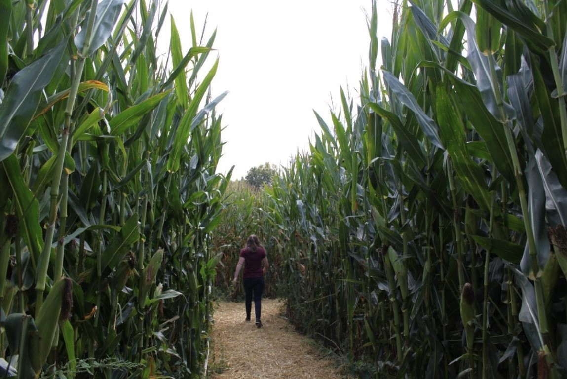 Get Lost in Szalay's Corn Maze
