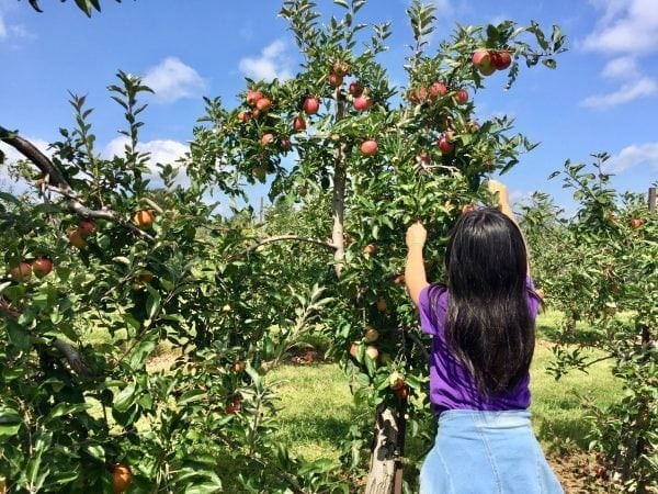 Apple Picking Guide to U-Pick Farms