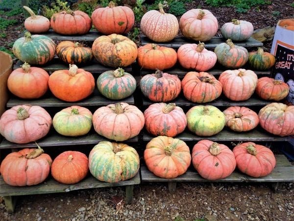 The Pumpkins are Plentiful at Sweetapple Farm