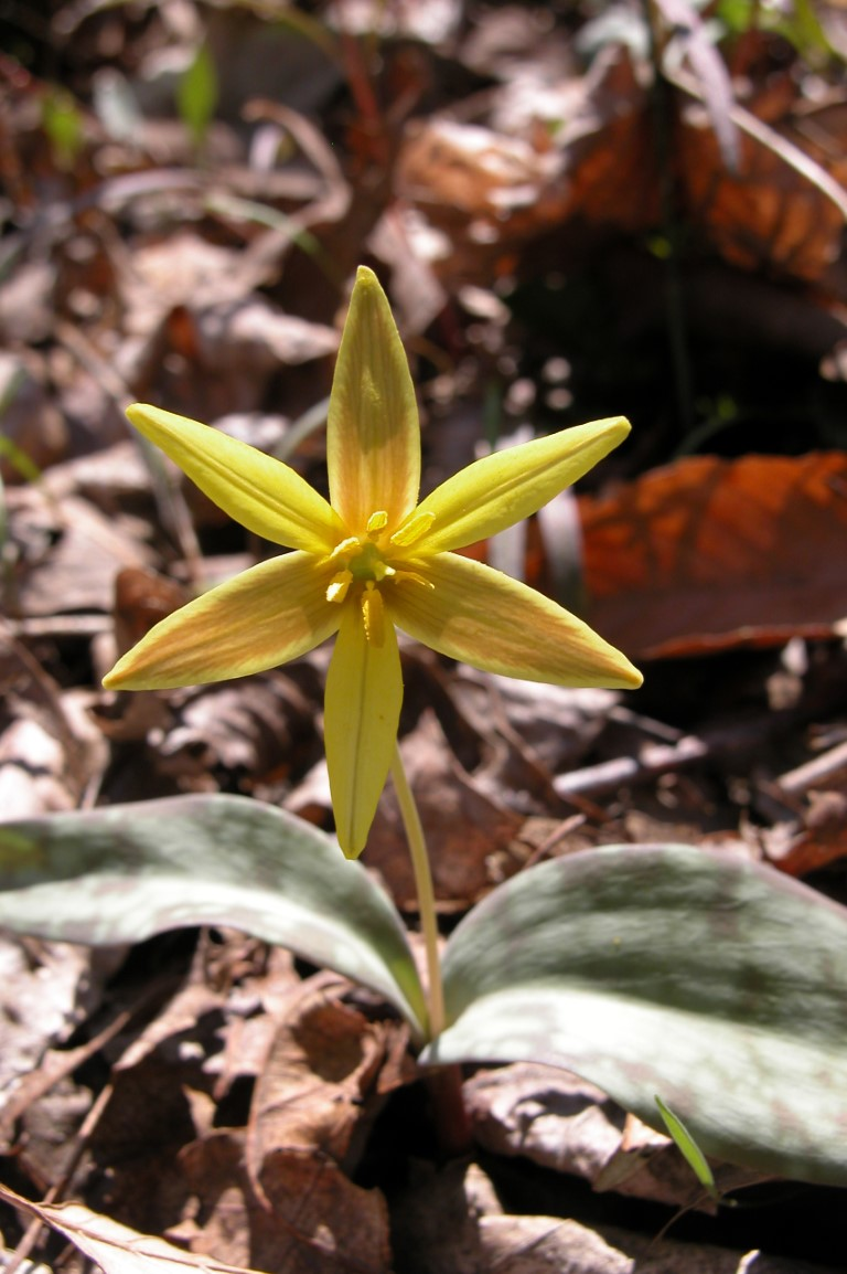 Gladys Riley Golden Star Lily Preserve