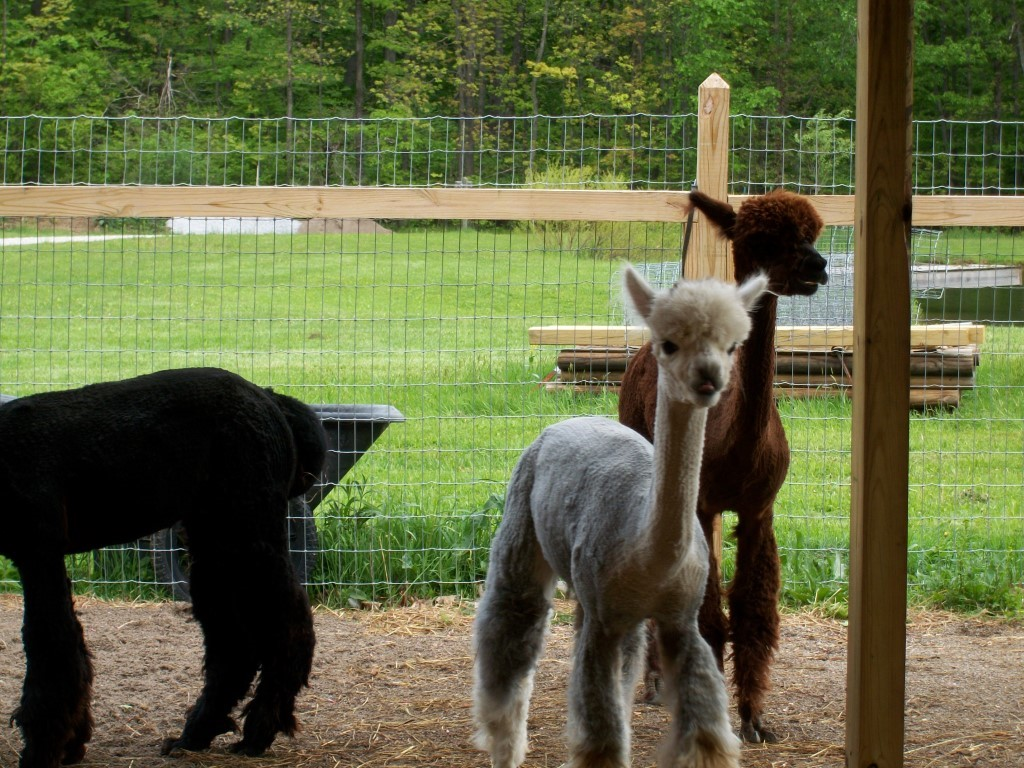 Alpacas Run Hideaway Farm & Gift Hut
